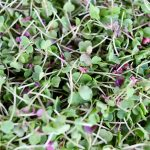 Microgreens- Mari's Micro Mix 2oz